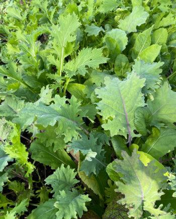 Salad Kale Mix at Unity Farm